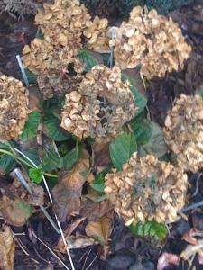 Brown Hydrangea